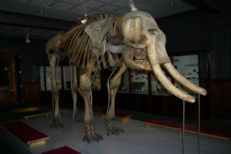 Fósil de Mamut, especie existente en la Era de Hielo
