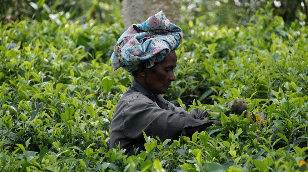 Recolección de té en Sri Lanka
