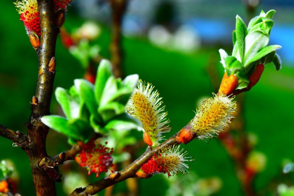 Flor de Salix