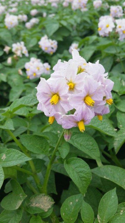 Flor de patata