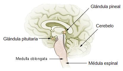 Ubicación de glándula pituitaria