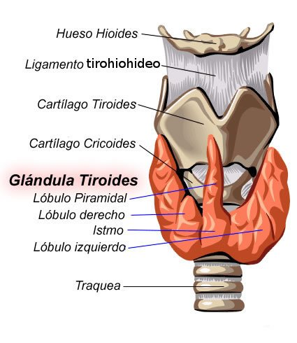 Glándulas tiroides