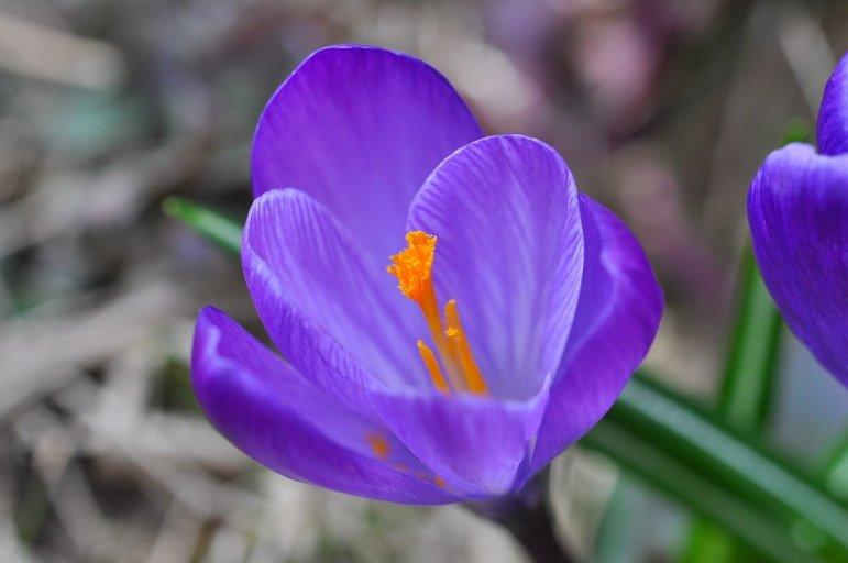 Flor de Azafrán