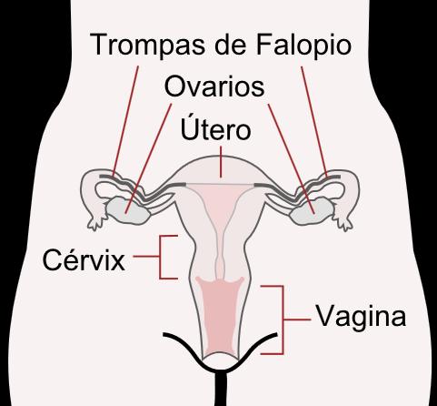Ubicación de los ovarios